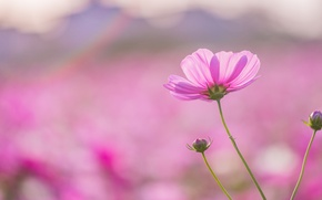 Обои фокус, макро, Космея, цветок, розовый, размытость, лепестки, поле