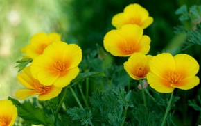 Картинка желтый, эшшольция, калифорнийский мак