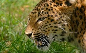 Обои усы, rosswillett, леопард, хищник, морда, оскал, фото, трава, дикая кошка