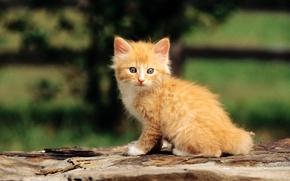 Картинка кошка, кот, макро, котенок, рыжий, cat