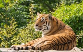 Картинка зелень, лето, тигр, отдых, хищник, лежит, дикая кошка