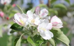 Картинка цветок, макро, яблоня
