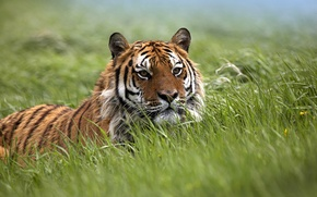 Обои хищники, поля, тигрицы, дикая природа, ожидание, ловушки, ловушка, дикие кошки, тигрица, поле, засада, тигры, трава, ...