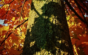 Картинка осень, листья, дерево, тень, ствол, кора, клен