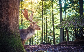 Картинка лес, деревья, природа, животное, олень