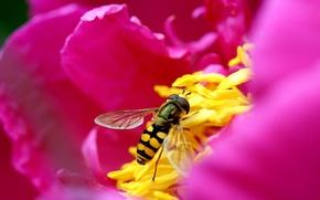 Обои Пчела, лепестки, цветок, розовый
