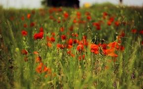 Картинка поле, трава, маки, растения, Красные