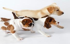 Картинка собаки, интерес, рыжие, трио, идут