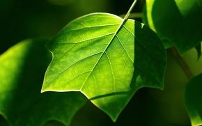 Обои лист, зелень, растения