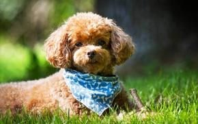 Картинка лето, трава, взгляд, Собака, мордочка, платок, Пудель