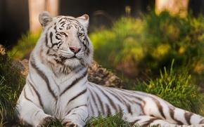 Картинка кошка, тигр, хищник, белый тигр