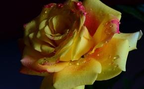 Картинка цветок, капли, романтика, нежность, роза, красота, rose, flower, yellow, желтая, romantic, beauty, water drops, tender, …
