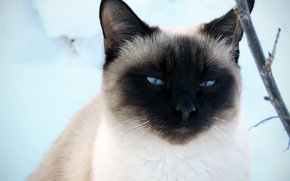 Картинка зима, кот, взгляд, снег, красавец, сиамский