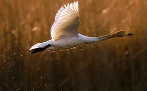 Картинка Лебедь, полёт, птица, взлёт, гусь, утка, брызги