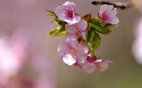 Картинка цветы, дерево, ветка, весна, листочки, цветение, цветки