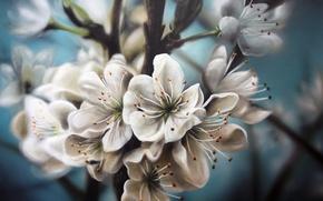 Картинка природа, белые, цветочки, живопись, яблоня, цветение, веточки