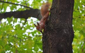 Картинка зелень, осень, листва, рыжая, Белка, боке, squirrel