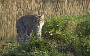 Картинка кошка, трава, холм, рысь