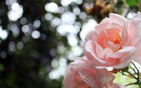 Обои цветы, flowers, petals, природа, розы, боке, лепестки, roses, nature, bokeh, 2560x1600