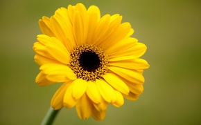 Картинка цветок, желтый, зеленый, фон, лепестки, гербера
