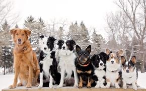 Картинка собаки, шеренга, Бордер-колли, Вельш-корги, друзья-товарищи
