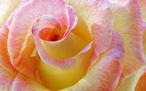 Обои цветок, макро, роза, цвет