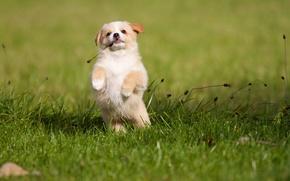 Картинка собака, щенок, фон