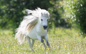 Картинка бег, пони, одуванчики, Beautiful, White, Wallpaper, Widescreen, Background, Pony, Field, Fullscreen, Running, Small Horse