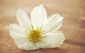 Картинка белый, цветок, макро, поверхность, обработка, космея