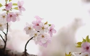 Картинка вишня, дерево, ветка, сакура