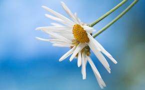 Картинка цветок, лепестки, ромашка, стебель