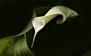 Картинка цветок, темный фон, листок, калла