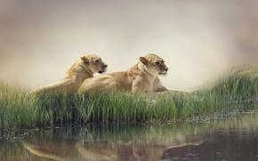 Обои вода, природа, туман, пруд, отражение, камыши, хищники, львы, лежат, отдыхают