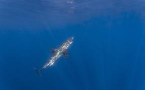 Картинка свет, отражение, акула, подводный, белая акула