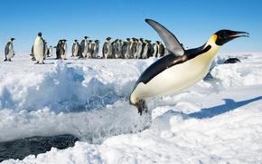 Обои прыжок, Антарктида, пингвины, Императорский пингвин, снег, птицы