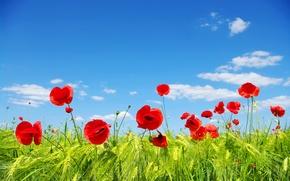 Обои красные, поле, голубое, маки, небо, трава, колосья, облака