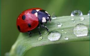 Картинка трава, капли, макро, природа, божья коровка, насекомое