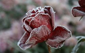 Картинка холод, зима, иней, цветок, макро, цветы, природа, фон, обои, роза, деревня
