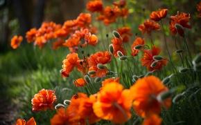 Обои цветы, маки, красные, фокус, розмытие