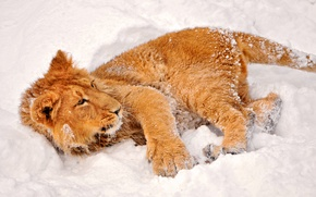 Картинка зима, взгляд, снег, львенок