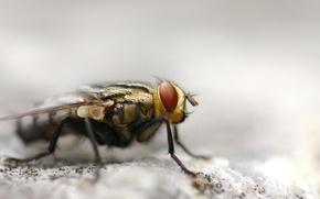 Обои макросъемка, муха