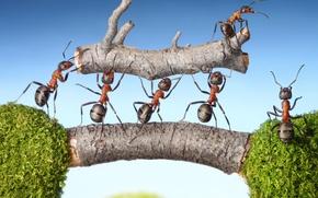 Картинка макро, насекомые, мох, ситуация, муравьи, бревно, мостик, тяжесть, обои от lolita777, силачи