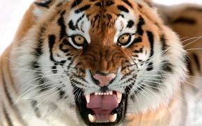 Картинка кошка, морда, клыки, оскал, амурский тигр