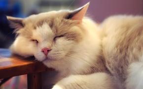 Обои пушистый, котяра, спит