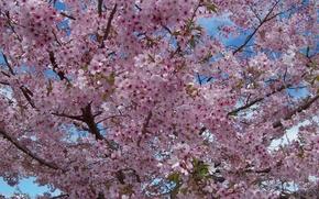 Картинка дерево, весна, цветение, trees, Spring, blossoms, flowering