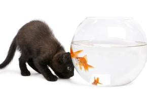 Картинка кошка, аквариум, золотая рыбка, белый фон, котёнок, чёрный кот