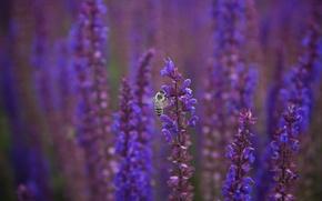 Картинка макро, цветы, пчела, размытость, фиолетовые, сиреневые, Шалфей