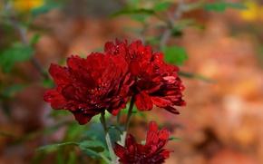 Картинка Капли, хризантемы, Боке, Bokeh, Красные цветы, Drops, Red flowers