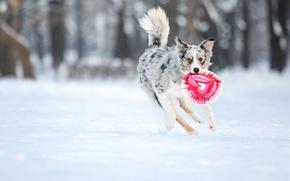Картинка собака, dog, бордер колли, border collie, фризби