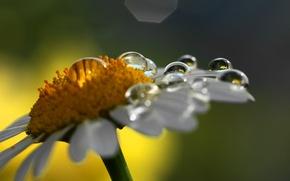 Картинка цветок, капли, макро, природа, ромашка